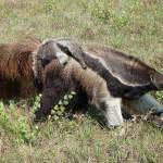 bichos do pantanal 8